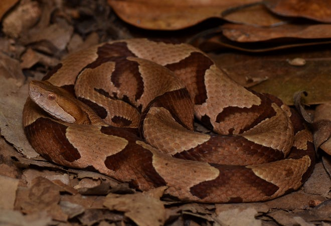 Copperheads are the most common venomous snake throughout much of the eastern United States. [Photo courtesy Parker Gibbons]