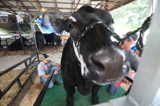 Brant Vernon and his father Ron get Joker ready to show at the Muskingum County Fair steer show on Tuesday.