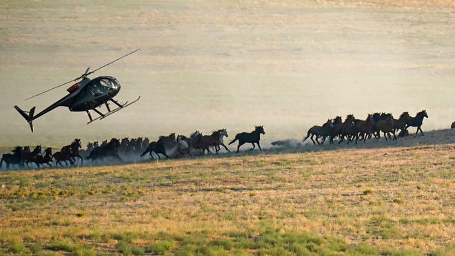 A helicopter pushes wild horses during a roundup on July 16, 2021, near U.S. Army Dugway Proving Ground, Utah. Federal land managers are increasing the number of horses removed from the range this year during an historic drought.