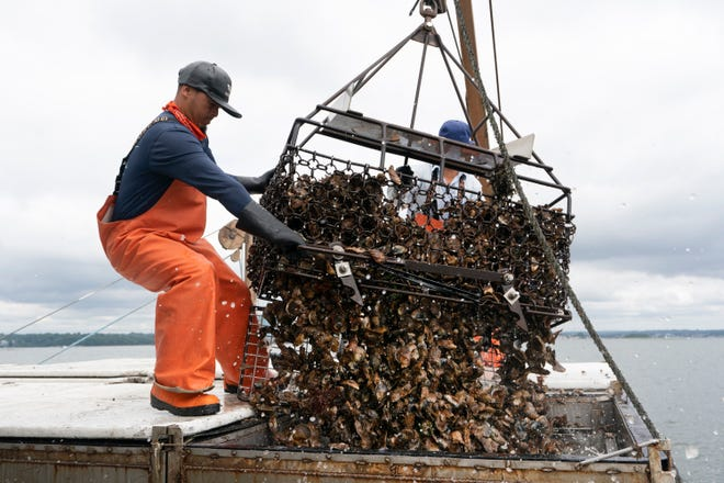 Darwin Ceveda opens the bottom of a basket to unload hundreds of oysters into the hold of a shellfishing boat owned by Copps Island Oysters, Monday, Aug. 9, 2021, off Norwalk, Conn.
