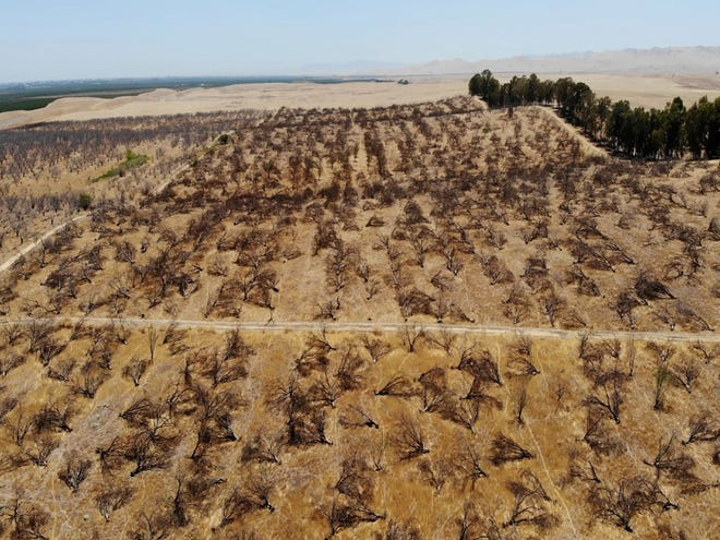 In this aerial photo is an abandoned almond orchard in Newman, Calif., on July 20, 2021. California's deepening drought threatens its $6 billion almond industry, which produces about 80 percent of the world's almonds.
