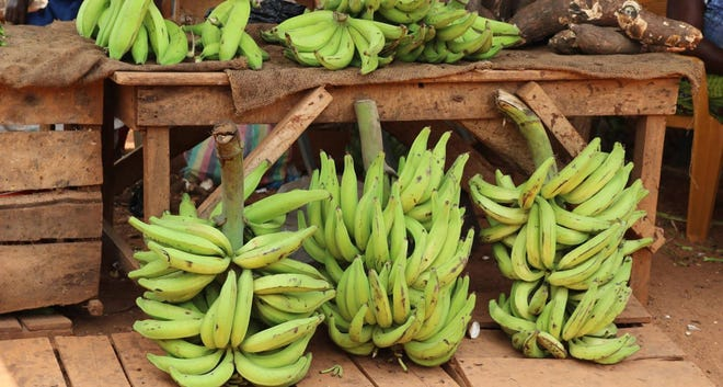 As you might guess, plantains are related to the banana and are really the same genus (musa) as a banana. The distinction is that plantains are eaten after cooking, whereas a banana can just be peeled and eaten raw.
