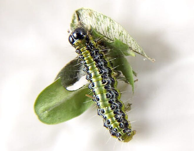 Green caterpillar of the box tree moth with black stripes, shiny black head and white stripes and hairs.