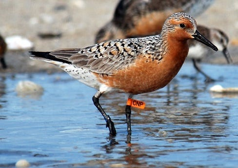 Legislation that would provide better protection for the rufa red knot bird could limit the entire Topsail Beach shore, which concerns officials. U.S. FISH AND WILDLIFE SERVICE
