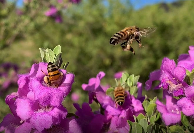 Honeybees gather nectar from a 'Heavenly Cloud' Texas-sage