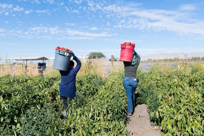 Farmworkers work at a bell pepper farm in the Coachella Valley, one of the largest agricultural regions in the nation, in February 2021.