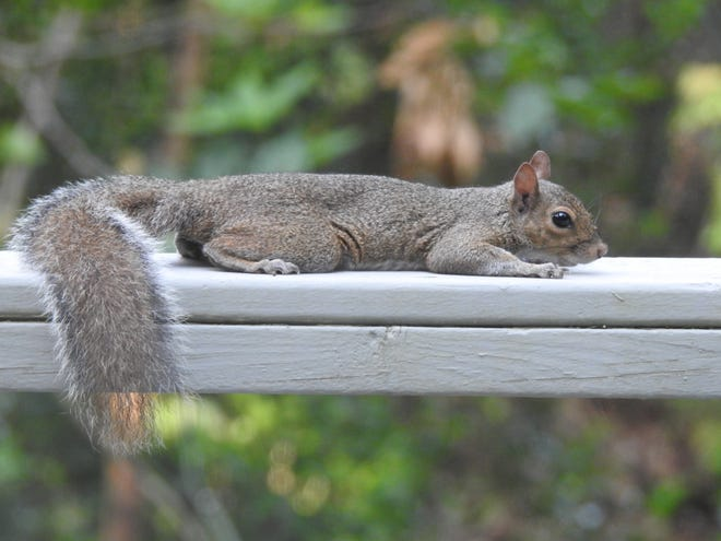 A squirrel's teeth are always growing, so they keep them filed by gnawing on wood or bones.