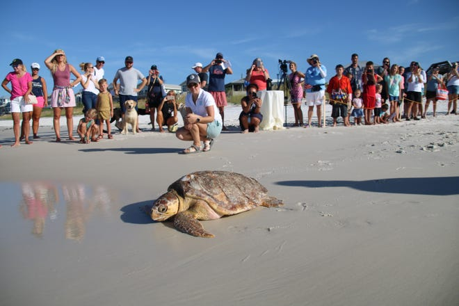Spectators watch Thursday as Pluto the sea turtle makes her way into the Gulf of Mexico at Inlet Beach.