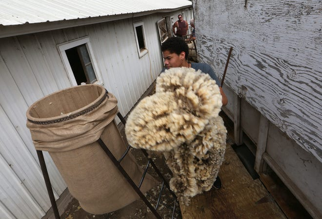 Seven Bratcher carries a fleece shorn from a ewe to the storage bag Thursday at the Steve and Dedra Sawatzky farm west of Yoder.