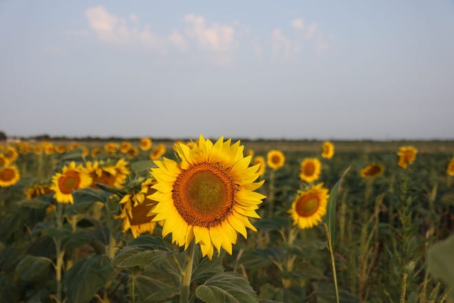 Sunflower blooms are short — for those who want photos or to take walksin fields of sunflowers, they have about two weeks each year.