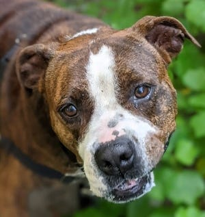 Name: Molly  Gender: Female  Age: 5 years old  Weight: 75 pounds  Species: Dog  Breed: Bulldog- Brindle/White  Orphaned Since: June 2021  Adoption Fee: $100     Woof there, I'm Molly! I'm a sweet wiggle-butt kind of gal. Besides being super cute I'm also good with children, and I loooove food. In fact, I could gobble down a snack right now. Oh, and did I mention I like cuddles? I mean, cuddles might just be the best thing ever. I'm also easygoing and already housetrained. If you'd like a fun buddy to chill with, I'm the one, so contact SPCA Florida and ask for Molly!