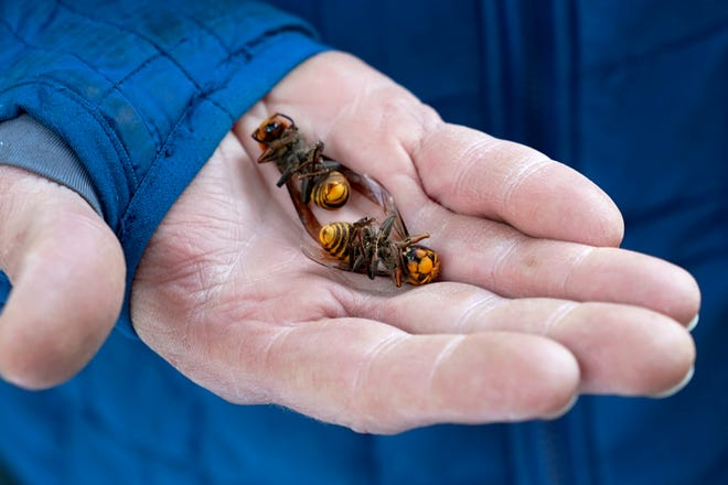 A Washington state Department of Agriculture worker holds two of the dozens of Asian giant hornets vacuumed from a tree in Blaine, Wash., on Oct. 24. Authorities say they've found the first Asian giant hornet nest of 2021 in a rural area east of Blaine. State entomologists will now develop a plan to eradicate the nest.