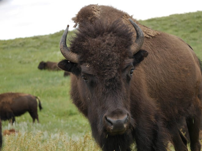 A bison stands on the plains in Custer State Park in South Dakota.