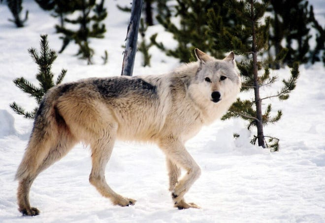 Yellowstone National Park wolf biologists report that the park'sJunction Butte Pack(27 wolves) lost three wolves to Montana hunters during the first week of Montana's wolf hunting season.