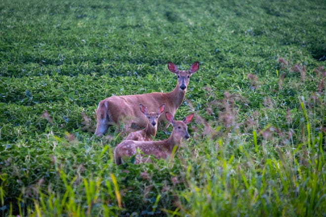 Several deer take an evening stroll through a field near Burtchville Township Thursday, Aug. 19, 2021.