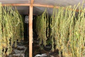 Deputies raided a suspected illegal marijuana grow in the Santa Rosa Valley on Aug. 13.