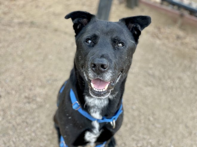 Dogs in the Williamson County Regional Animal Shelter transport program are adopted quickly in northern states. At the shelter, some dogs wait for a home for over 180 days, like Tyson pictured here.