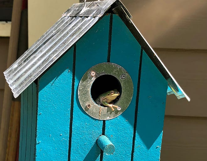 A tiny rain frog takes refuge in an empty birdhouse.