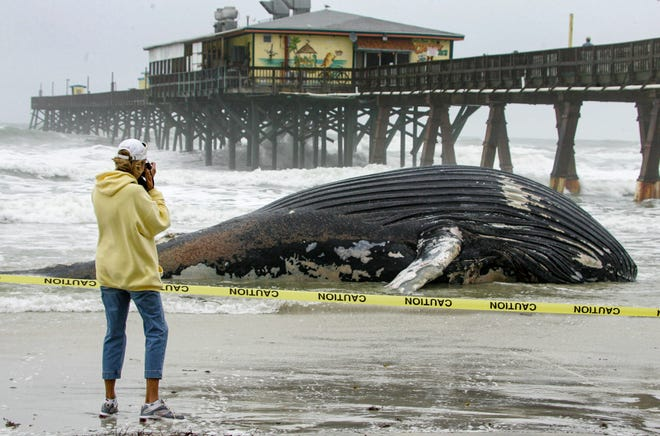 A woman takes a photo of a 30-foot humpback whale next to the Sunglow Pier, Jan. 18, 2007.