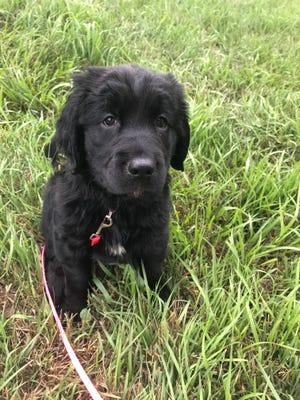 Bella is a a cross between a Springer Spaniel and a Golden Retriever.