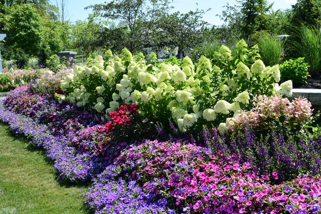 New varieties have taken the hydrangea world by storm by changing cold hardiness, heat tolerance, flower color, reblooming ability, plus other wonderful characteristics.