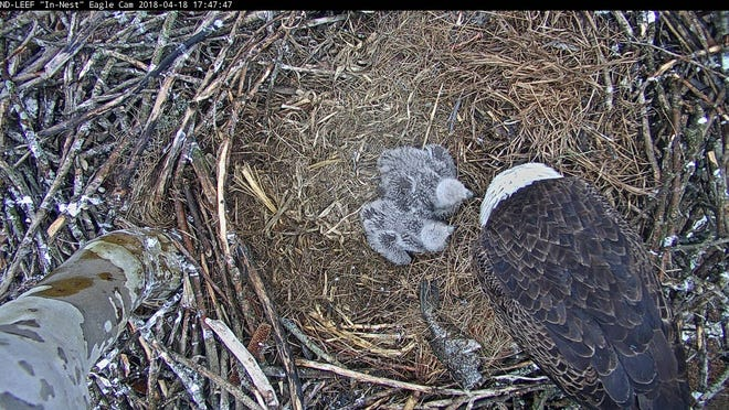 """A freshly caught fish waits to be eaten by an adult eagle and two eaglets in 2018 as the University of Notre Dame studied their diet via its """"Eagle Cam."""""""