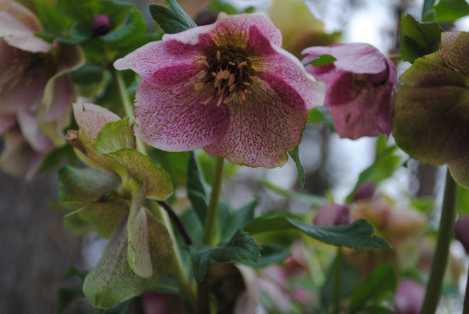 This is a photo of a Lenten Rose (hellebore) that grows along the front of a shade garden along the edge of the woods on the right side of our landscape. Lenten roses thrive in some sunshine and these receive rays for several hours each lay. They reseed themselves, therefore they spread readily, and this bed has become overcrowded. The time has come to dig up a few of these perennials and share them.