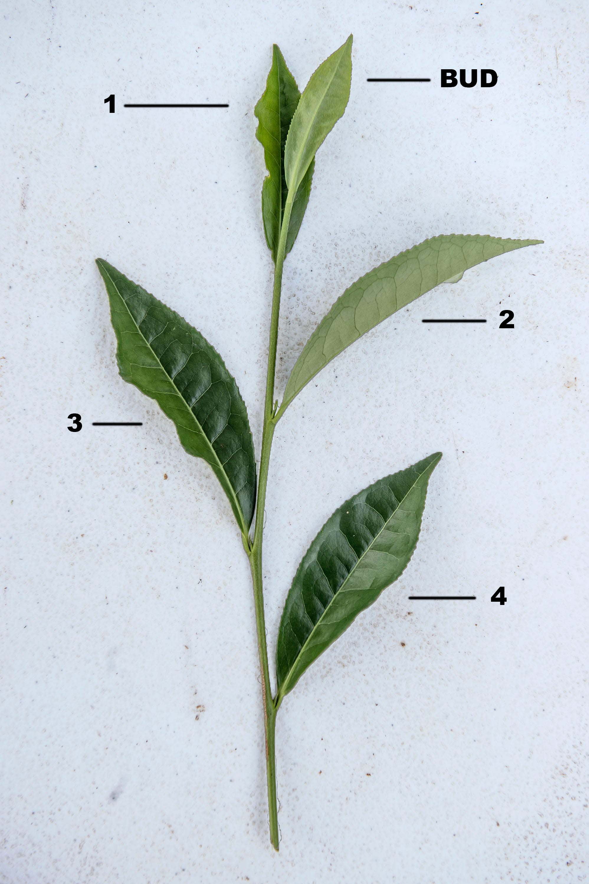 All teas come from the same plant, but different leaves are used for each variety.