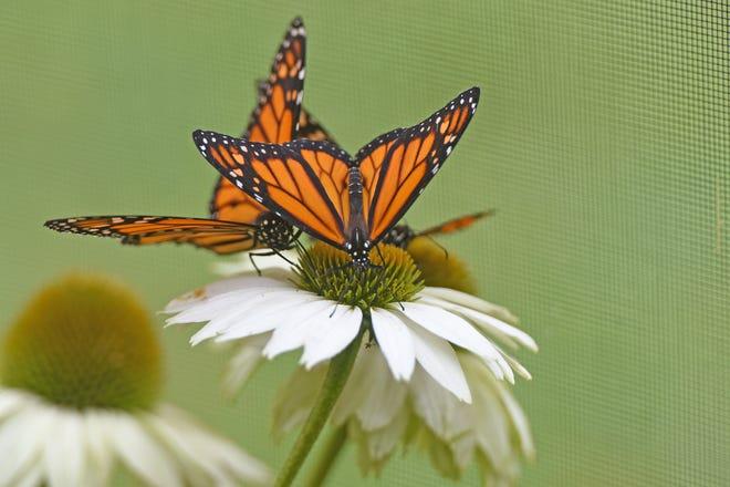 """Explore the """"Magic of Monarchs"""" program at Dawes Arboretum."""