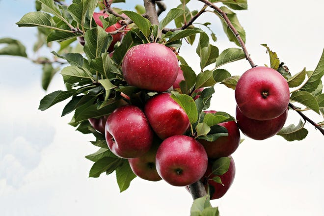 Apples are coming into season.