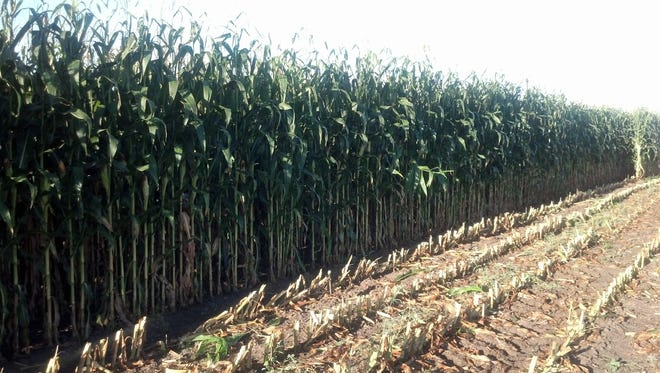 Some North Dakota producers may be harvesting corn for silage this year.