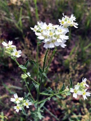 Hoary alyssum is a perennial, grayish-green weed that stands 1 to 3 feet tall.