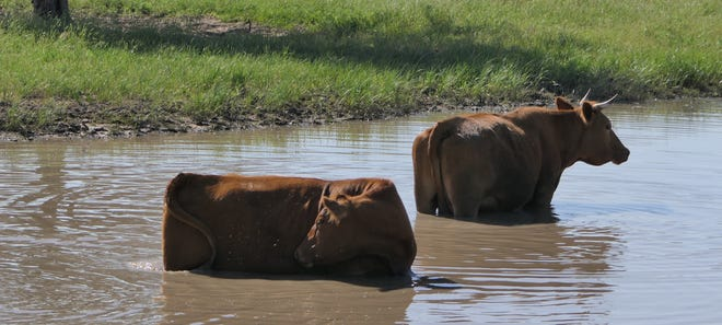 Cattle lounging in a pond in Reno County.