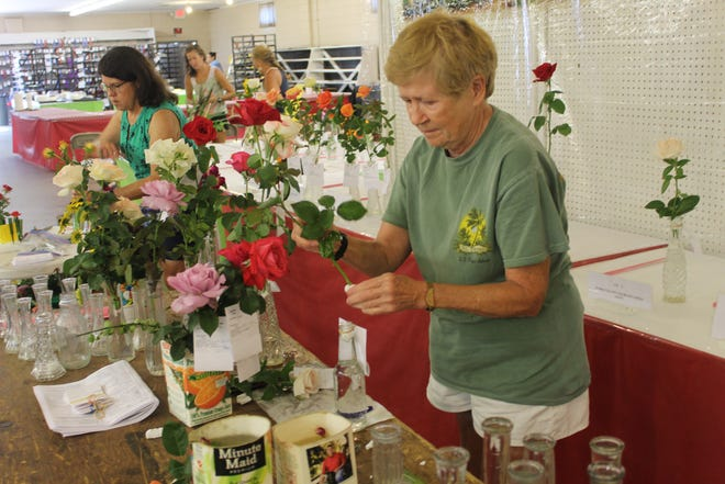 Cheryl Menard of Maumee puts the finishing touches on one of her roses for open classes flower judging Tuesday morning at the Sandusky County Fairgrounds' Flower Building. The 2021 Sandusky County Fair kicked off at 8 a.m. with an opening day ceremony and a full schedule of events after being scaled back last year due to COVID-19 safety concerns.