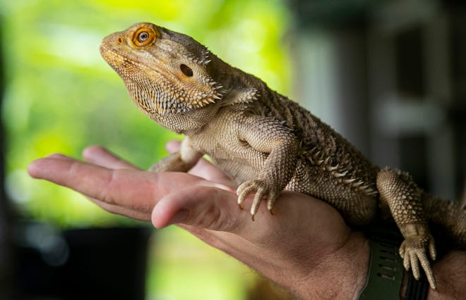 Figment is one of the bearded dragons to call Adam's Animal Encounters on Pine Island home.