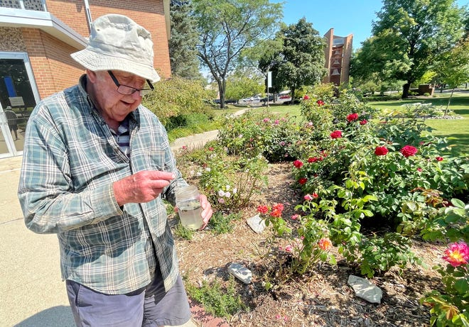 Jim Lunney of De Pere has made it his mission to keep the Japanese beetles from destroying the roses he planted outside Resurrection Catholic Parish in Allouez 20 years ago. At 89, he comes daily to pick the pests off and counts how many he gets. So far this season, he and his helper, daughter-in-law Lynn Lunney, are up to more than 15,000.
