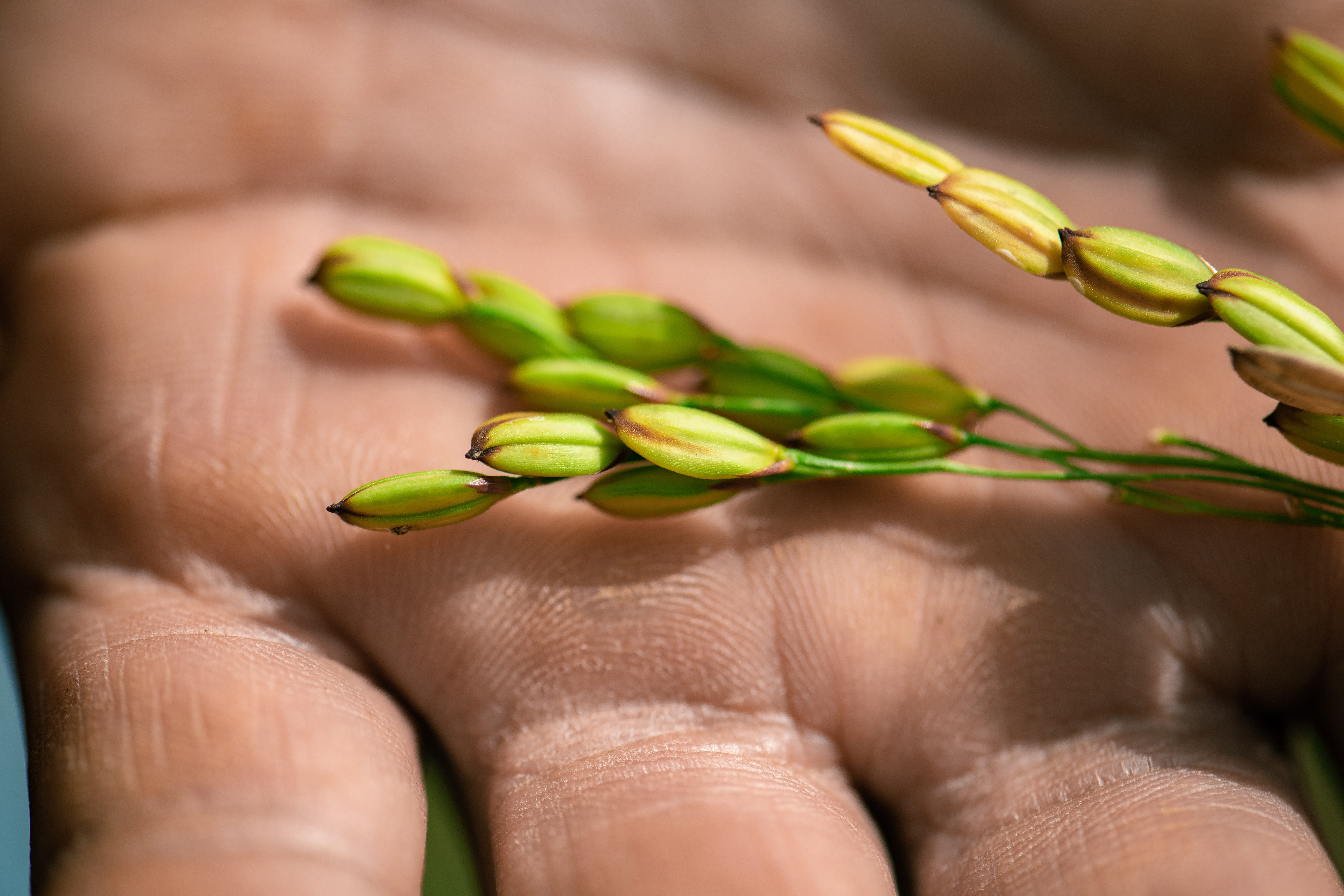Rice in the palm of Tou Lee's hand at Lee's One Fortune Farm.