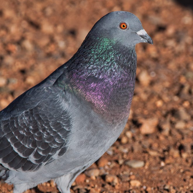 Rock pigeons have lived alongside people for 5,000 years. Even this mostly gray form of rock pigeon shows the species' iridescent colors.