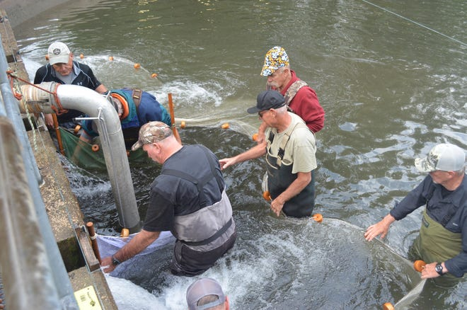 Nestucca Anglers volunteers crowd around a tightening net to get Chinook salmon smolts to the suction tube that will lift them into a waiting hatchery truck.