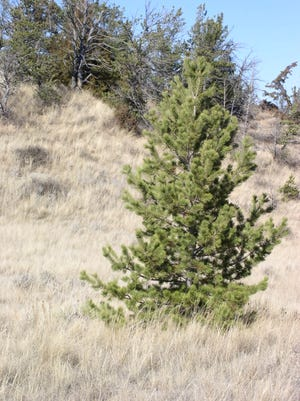 This lone limber pine tree is in North Dakota's Slope County.