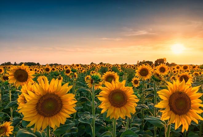 Huge sunflower field.