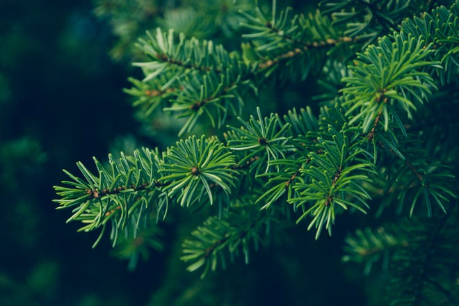 The right tree may either be near the end of its life or may need to be removed for other reasons. Once a tree is selected, MDC staff will coordinate the cutting and delivery of the tree to the governor's mansion at no cost to the owner.