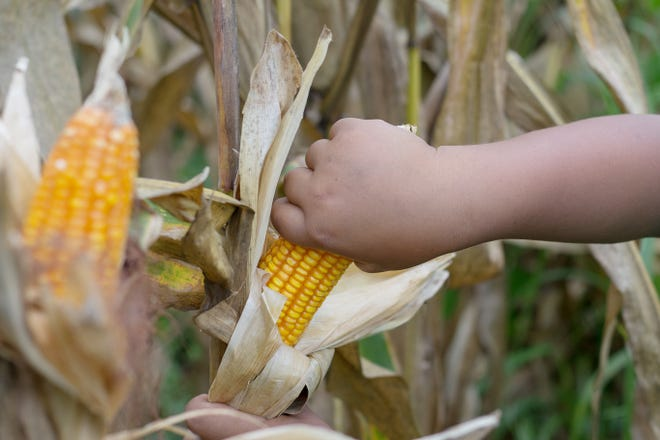 A poor Asian boy checks and harvests corn in a cornfield in Southeast Asia.