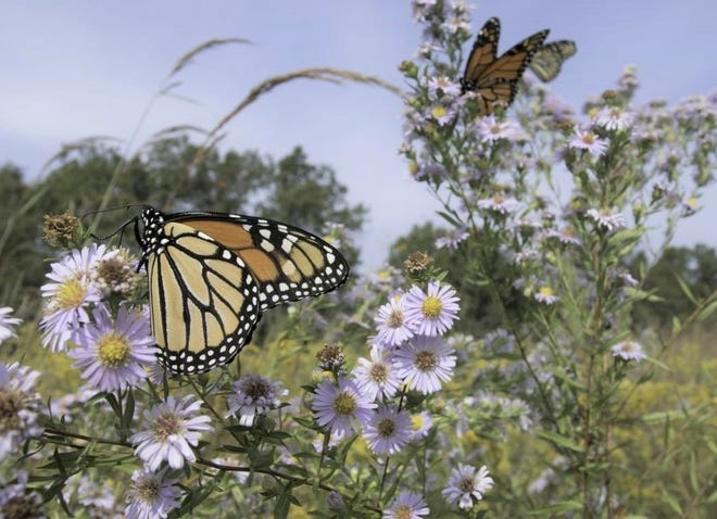 People will have a chance to learn about monarch butterflies (pictured above) at a free Missouri Department of Conservation virtual program on Sept. 14.