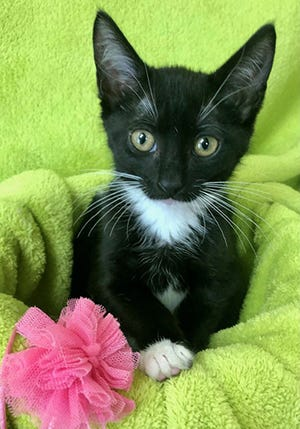 Tippy, a baby female tuxedo, is available for adoption from Wags & Whiskers Pet Rescue. Adoption fees are $80 for adult cats and $90 for kittens. Routine shots, tests and deworming are up to date. Other available cats can be seen from noon to 5 p.m. Saturdays and Sundays at St. Augustine Petco in Cobblestone Plaza, 430 Cbl Drive. Call 904-797-6039 or go to wwpetrescue.org.