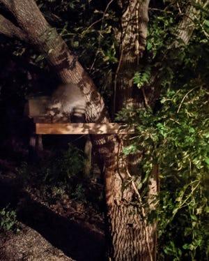 Night Raccoon Munchies