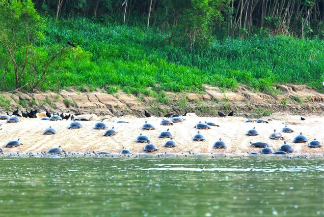 Arrau, giant Amazon River turtles, come ashore in Brazil during a communal nesting event. [Photo courtesy Camila Ferrara]