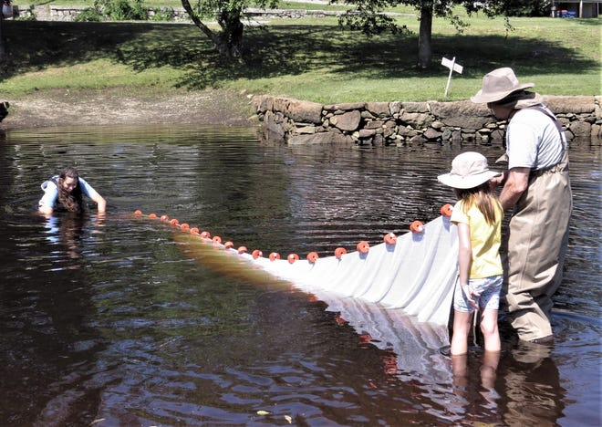 Westport River Watershed Alliance's Bailey Sweet demonstrating the seining net at the Head of Westport.