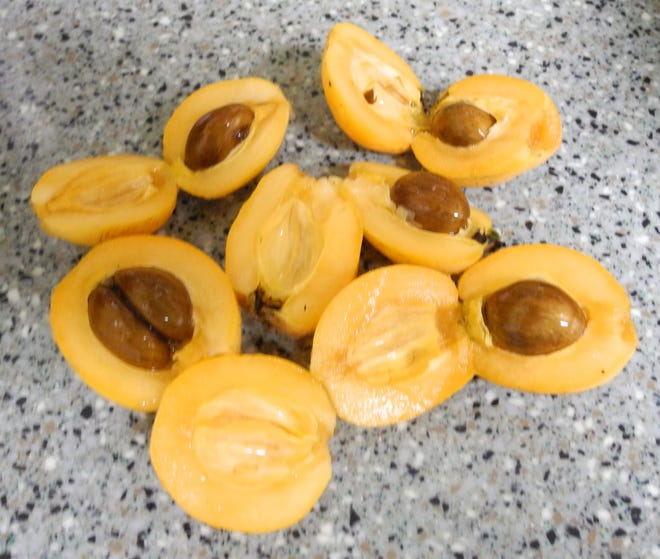 Loquats grow on attractive small trees and produce small but delicious peach-like fruits.