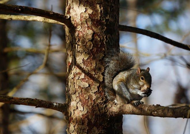 Squirrel hunting begins Sept. 1 in Ohio.